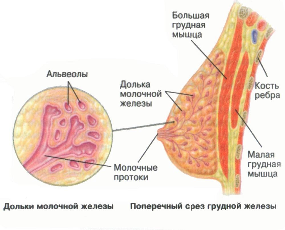 Строение женской груди